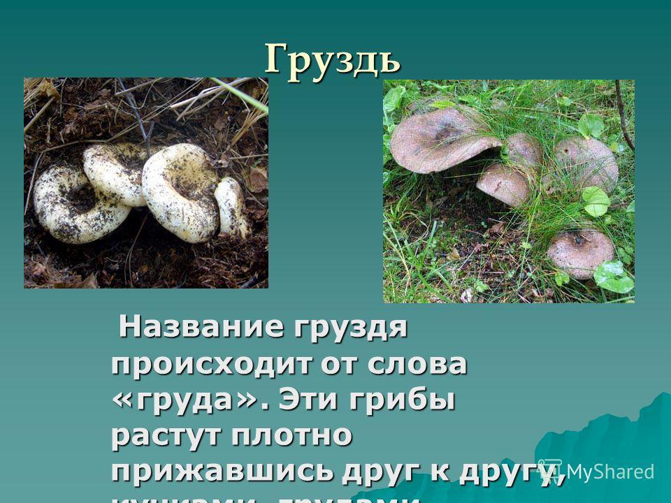 Груздь Название груздя происходит от слова «груда». Эти грибы растут плотно прижавшись друг к другу, кучками, грудами, сгрудившись. Название груздя происходит от слова «груда». Эти грибы растут плотно прижавшись друг к другу, кучками, грудами, сгруди