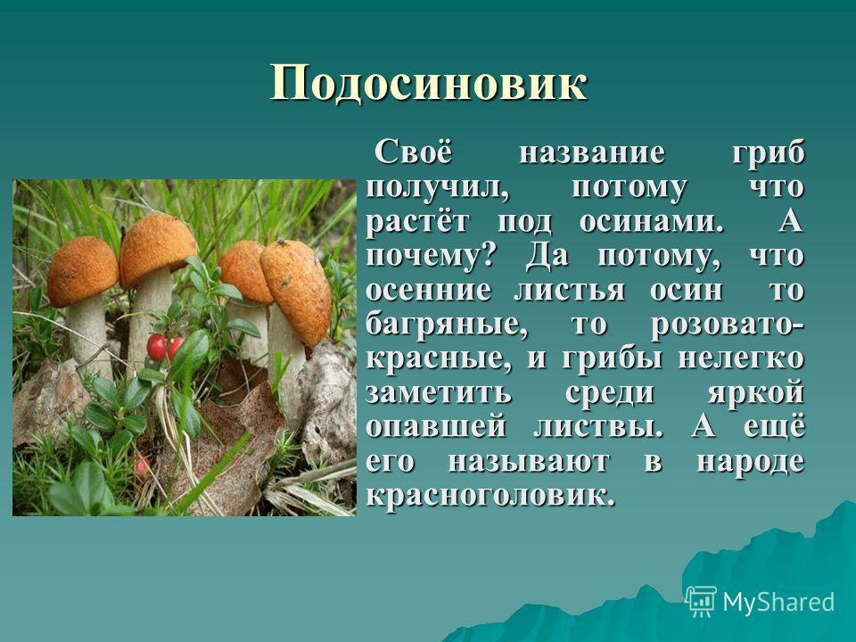 Подосиновик Своё название гриб получил, потому что растёт под осинами. А почему? Да потому, что осенние листья осин то багряные, то розовато- красные, и грибы нелегко заметить среди яркой опавшей листвы. А ещё его называют в народе красноголовик. Сво