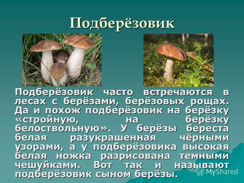 Подберёзовик Подберёзовик часто встречаются в лесах с берёзами, берёзовых рощах. Да и похож подберёзовик на берёзку «стройную, на берёзку белоствольную». У берёзы береста белая разукрашенная чёрными узорами, а у подберёзовика высокая белая ножка разр
