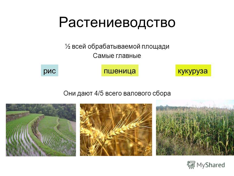 Растениеводство ½ всей обрабатываемой площади Самые главные Они дают 4/5 всего валового сбора рис пшеница кукуруза