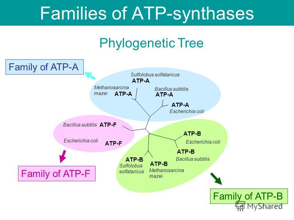 Families of ATP-synthases ATP-A ATP-F ATP-B Escherichia coli Bacillus subtilis Escherichia coli Methanosarcina mazei Methanosarcina mazei Sulfolobus solfataricus Sulfolobus solfataricus Family of ATP-A Family of ATP-B Family of ATP-F Phylogenetic Tre