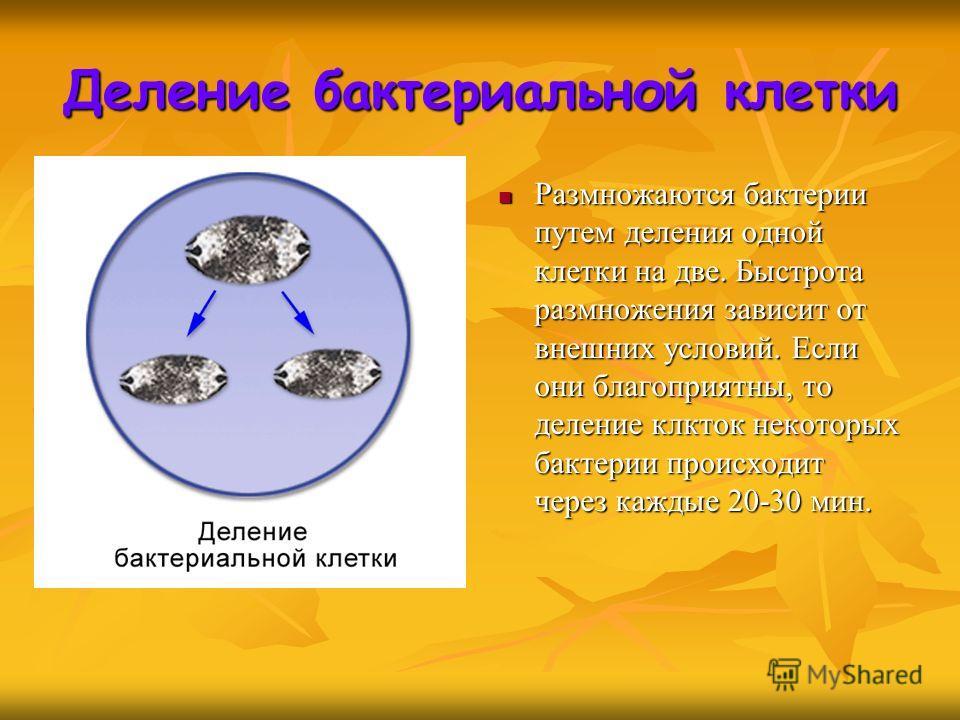 Размножаются бактерии