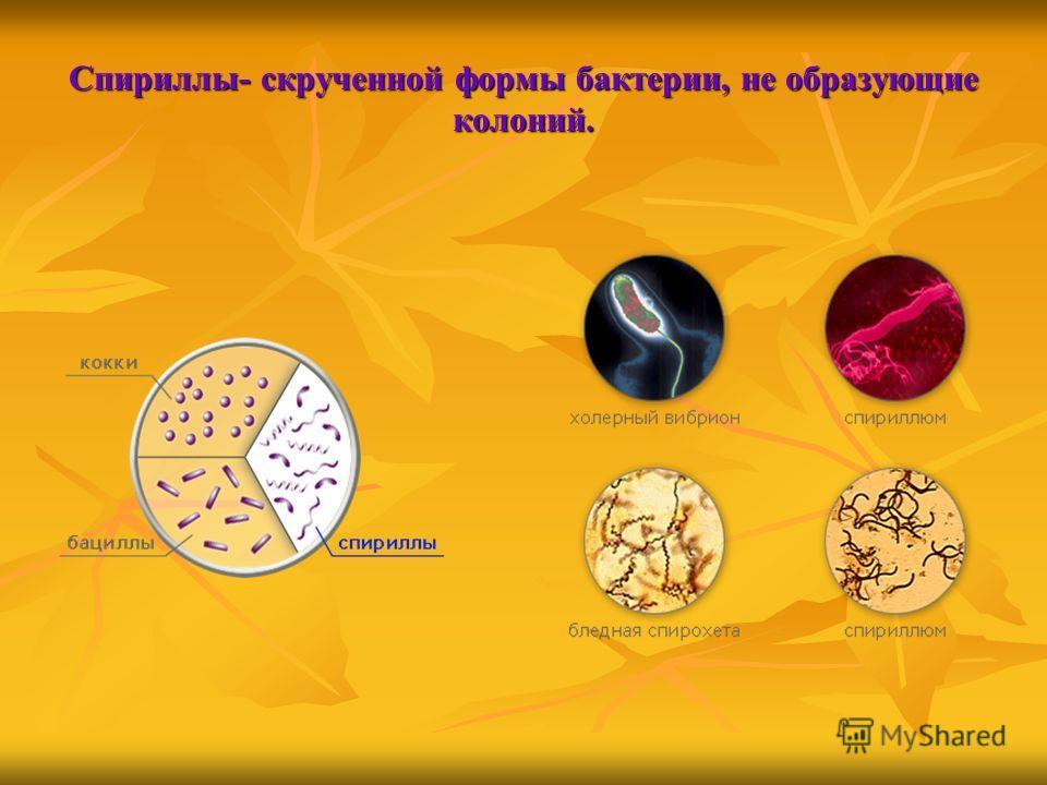Спириллы- скрученной формы бактерии, не образующие колоний.
