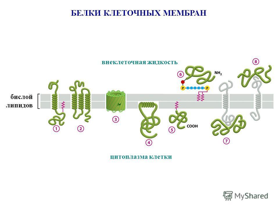 БЕЛКИ КЛЕТОЧНЫХ МЕМБРАН бислой липидов внеклеточная жидкость цитоплазма клетки