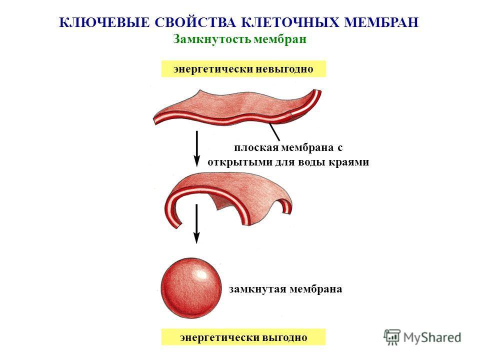КЛЮЧЕВЫЕ СВОЙСТВА КЛЕТОЧНЫХ МЕМБРАН Замкнутость мембран энергетически невыгодно энергетически выгодно плоская мембрана с открытыми для воды краями замкнутая мембрана