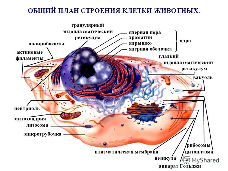 ОБЩИЙ ПЛАН СТРОЕНИЯ КЛЕТКИ ЖИВОТНЫХ.