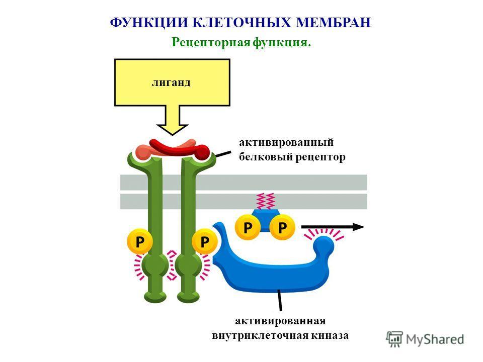 ФУНКЦИИ КЛЕТОЧНЫХ МЕМБРАН Рецепторная функция. лиганд активированный белковый рецептор активированная внутриклеточная киназа