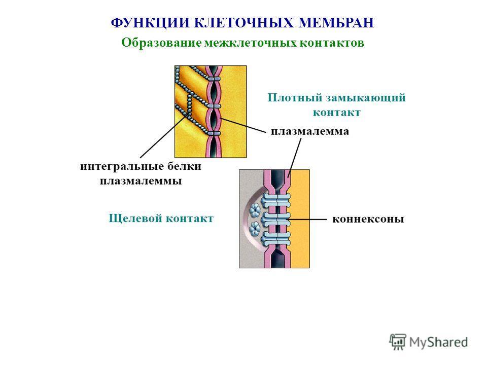 ФУНКЦИИ КЛЕТОЧНЫХ МЕМБРАН Образование межклеточных контактов