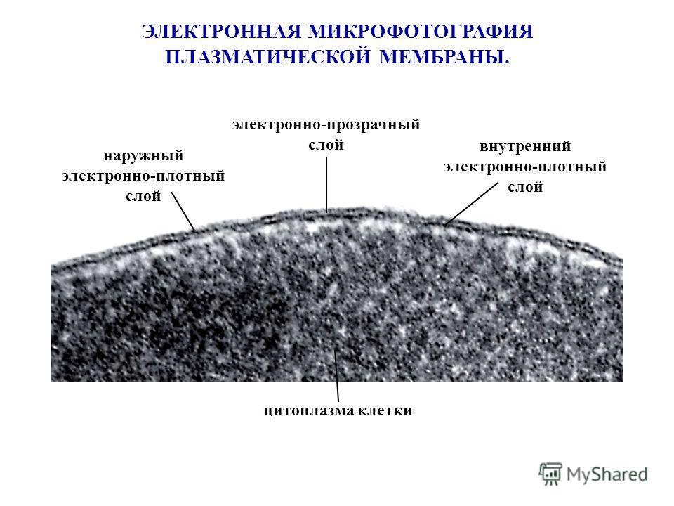 ЭЛЕКТРОННАЯ МИКРОФОТОГРАФИЯ ПЛАЗМАТИЧЕСКОЙ МЕМБРАНЫ. наружный электронно-плотный слой внутренний электронно-плотный слой электронно-прозрачный слой цитоплазма клетки