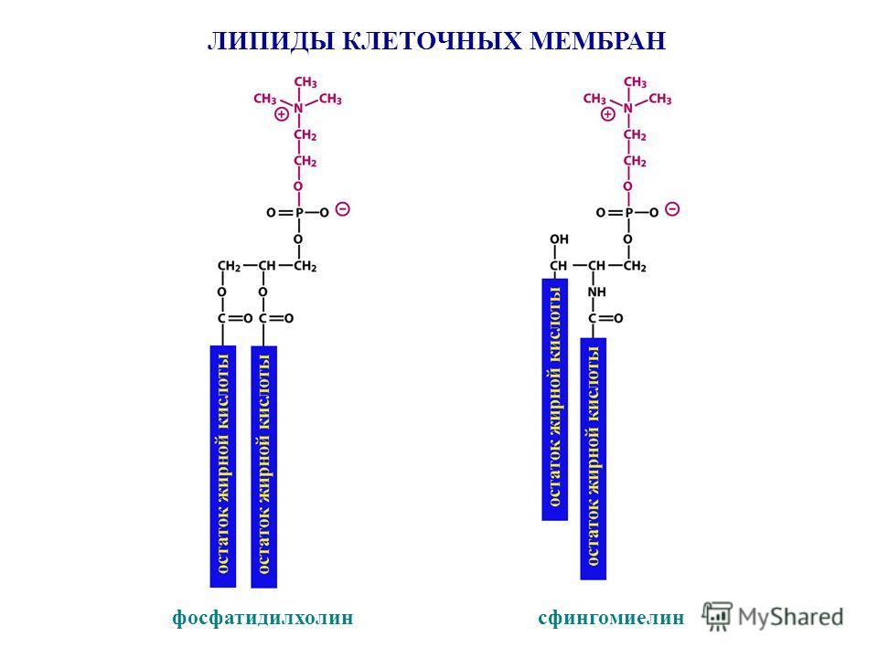 ЛИПИДЫ КЛЕТОЧНЫХ МЕМБРАН фосфатидилхолин сфингомиелин