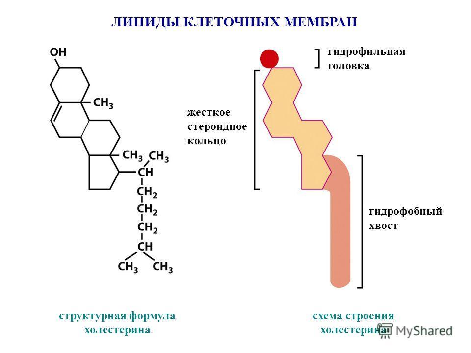 ЛИПИДЫ КЛЕТОЧНЫХ МЕМБРАН структурная формула холестерина схема строения холестерина гидрофильная головка гидрофобный хвост жесткое стероидное кольцо