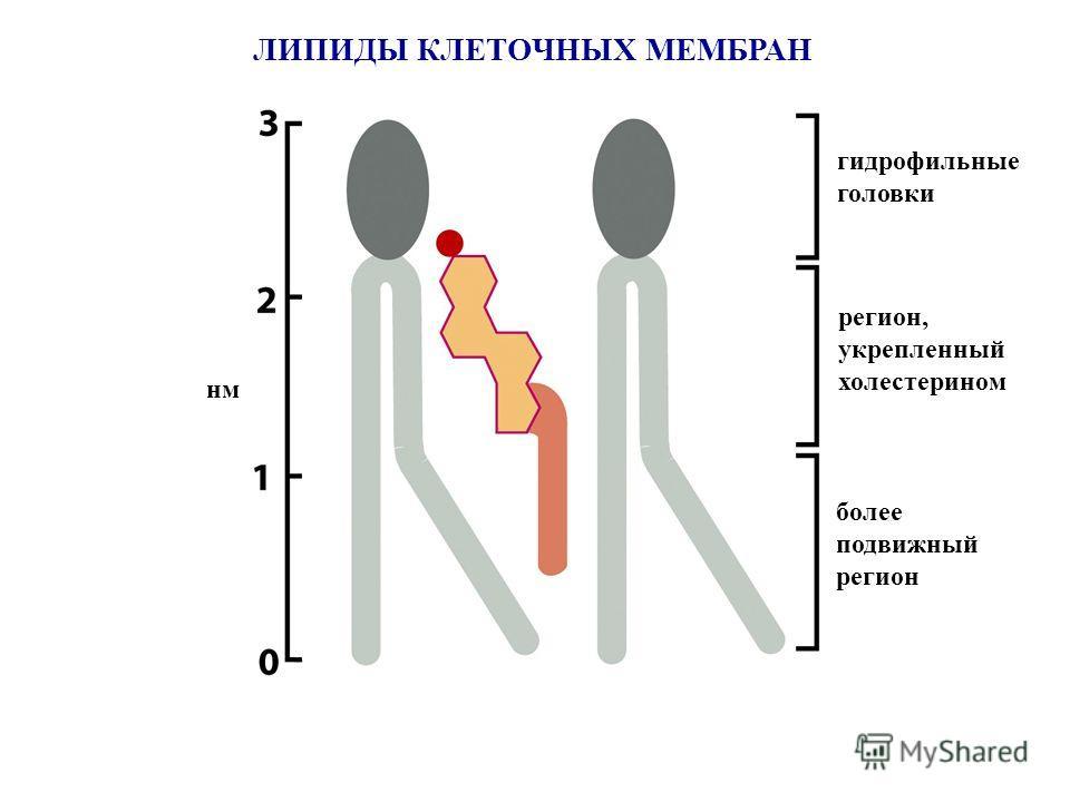 ЛИПИДЫ КЛЕТОЧНЫХ МЕМБРАН гидрофильные головки более подвижный регион регион, укрепленный холестерином нм
