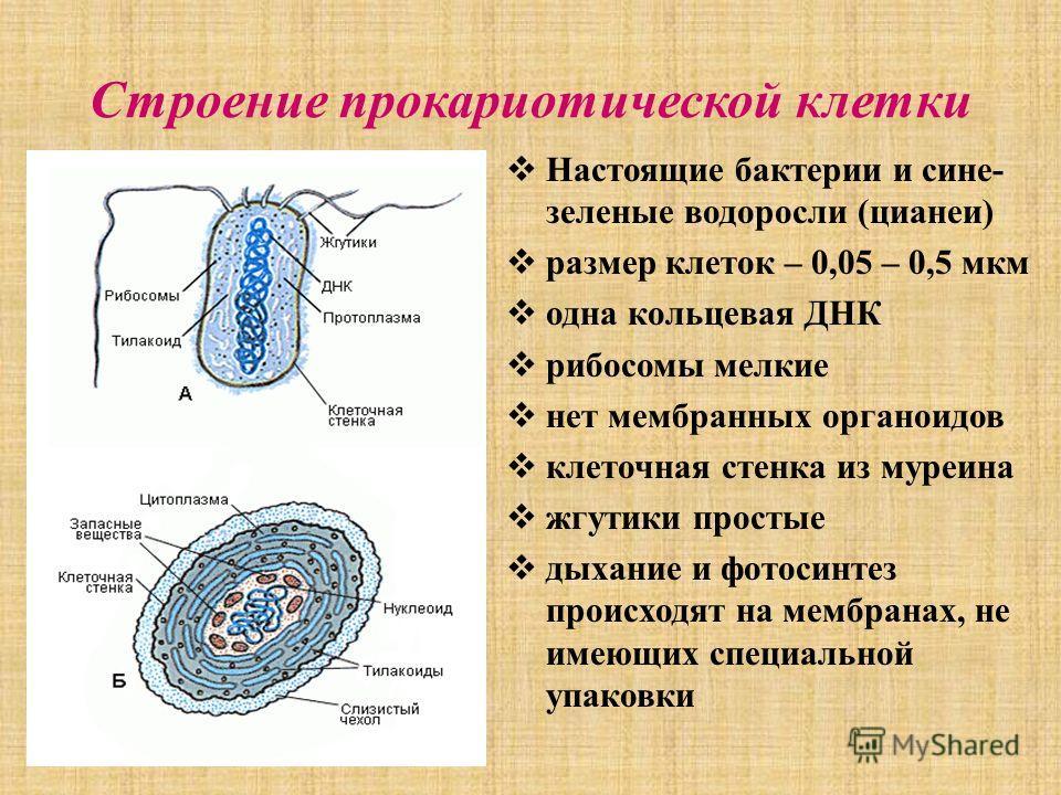 Строение прокариотической клетки Настоящие бактерии и сине- зеленые водоросли (цианеи) размер клеток – 0,05 – 0,5 мкм одна кольцевая ДНК рибосомы мелкие нет мембранных органоидов клеточная стенка из муреина жгутики простые дыхание и фотосинтез происх
