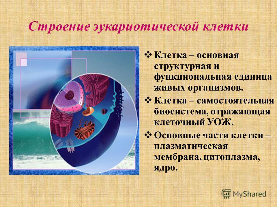 Строение эукариотической клетки Клетка – основная структурная и функциональная единица живых организмов. Клетка – самостоятельная биосистема, отражающая клеточный УОЖ. Основные части клетки – плазматическая мембрана, цитоплазма, ядро.