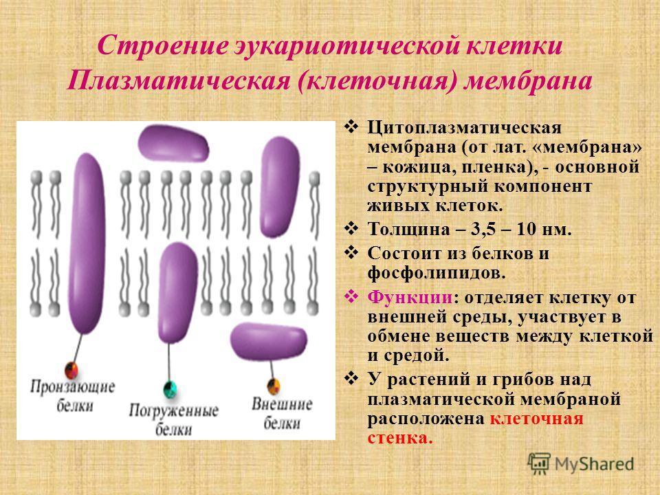 Строение эукариотической клетки Плазматическая (клеточная) мембрана Цитоплазматическая мембрана (от лат. «мембрана» – кожица, пленка), - основной структурный компонент живых клеток. Толщина – 3,5 – 10 нм. Состоит из белков и фосфолипидов. Функции: от