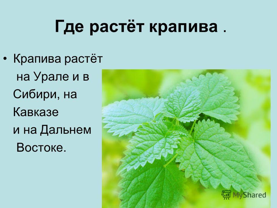Где растёт крапива. Крапива растёт на Урале и в Сибири, на Кавказе и на Дальнем Востоке.
