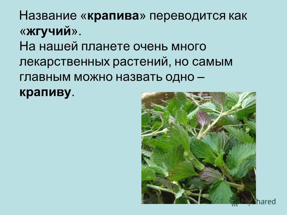 Название «крапива» переводится как «жгучий». На нашей планете очень много лекарственных растений, но самым главным можно назвать одно – крапиву.