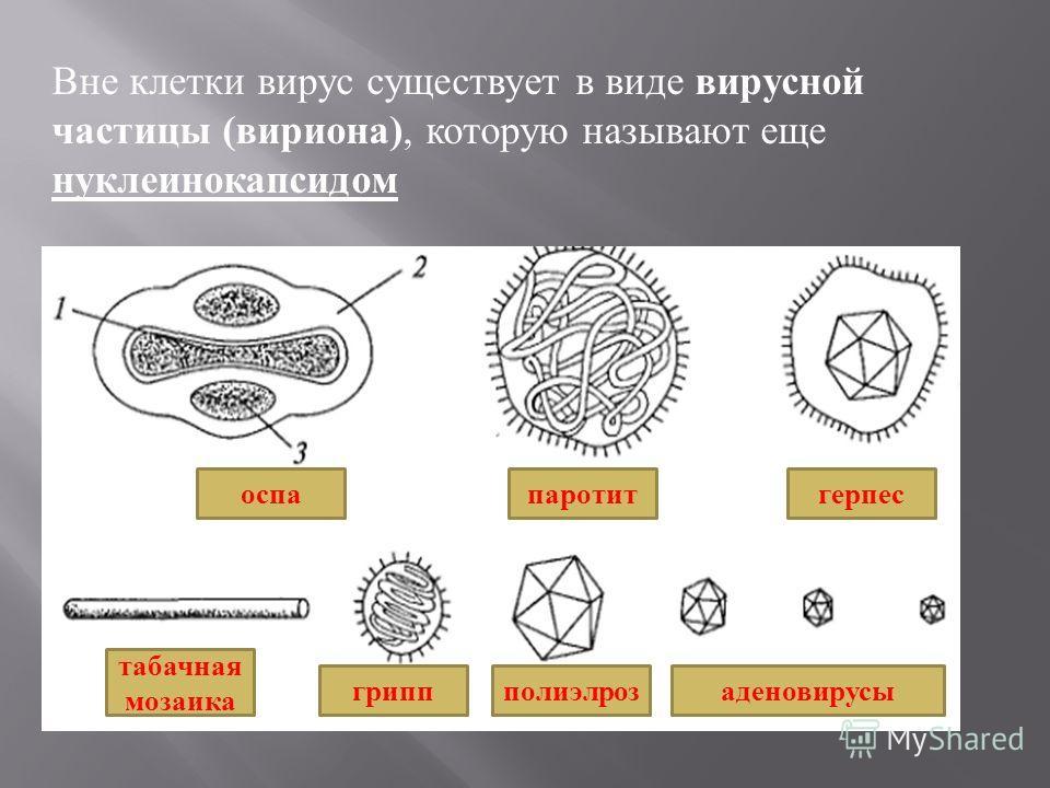 Вне клетки вирус существует в виде вирусной частицы ( вириона ), которую называют еще нуклеинокапсидом оспапаротитгерпес табачная мозаика гриппполиэлрозаденовирусы