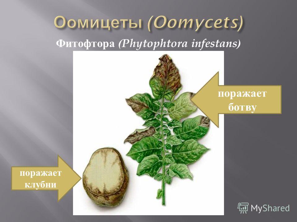 Фитофтора (Phytophtora infestans) поражает клубни поражает ботву