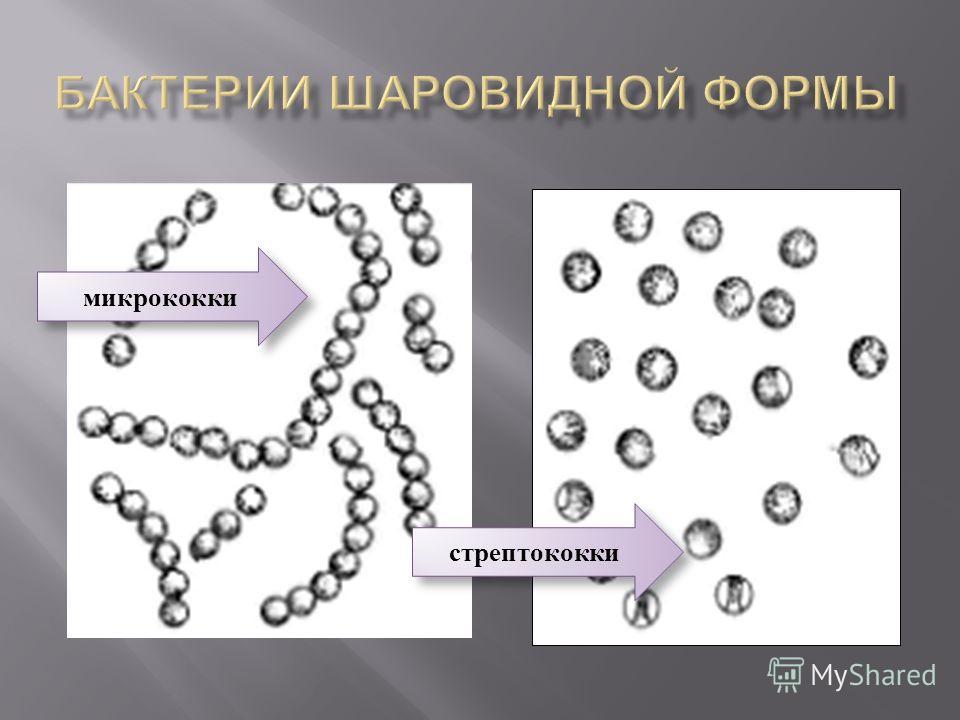 микрококки стрептококки