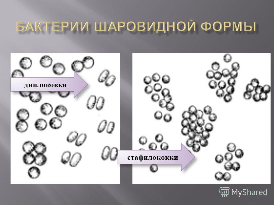 диплококки стафилококки
