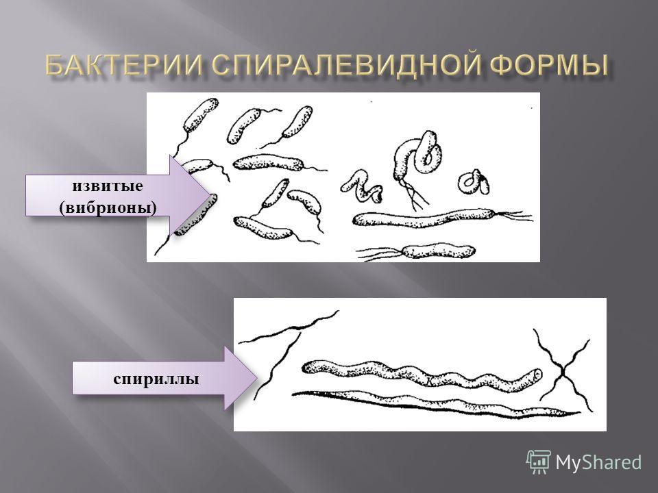 извитые (вибрионы) извитые (вибрионы) спириллы