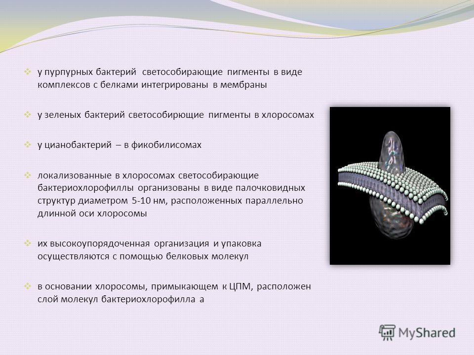 у пурпурных бактерий светособирающие пигменты в виде комплексов с белками интегрированы в мембраны у зеленых бактерий светособирающие пигменты в хлоросомах у цианобактерий – в фикобилисомах локализованные в хлоросомах светособирающие бактериохлорофил