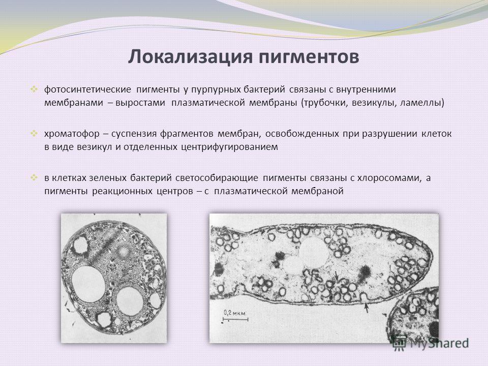 Локализация пигментов фотосинтетические пигменты у пурпурных бактерий связаны с внутренними мембранами – выростами плазматической мембраны (трубочки, везикулы, ламеллы) хроматофор – суспензия фрагментов мембран, освобожденных при разрушении клеток в