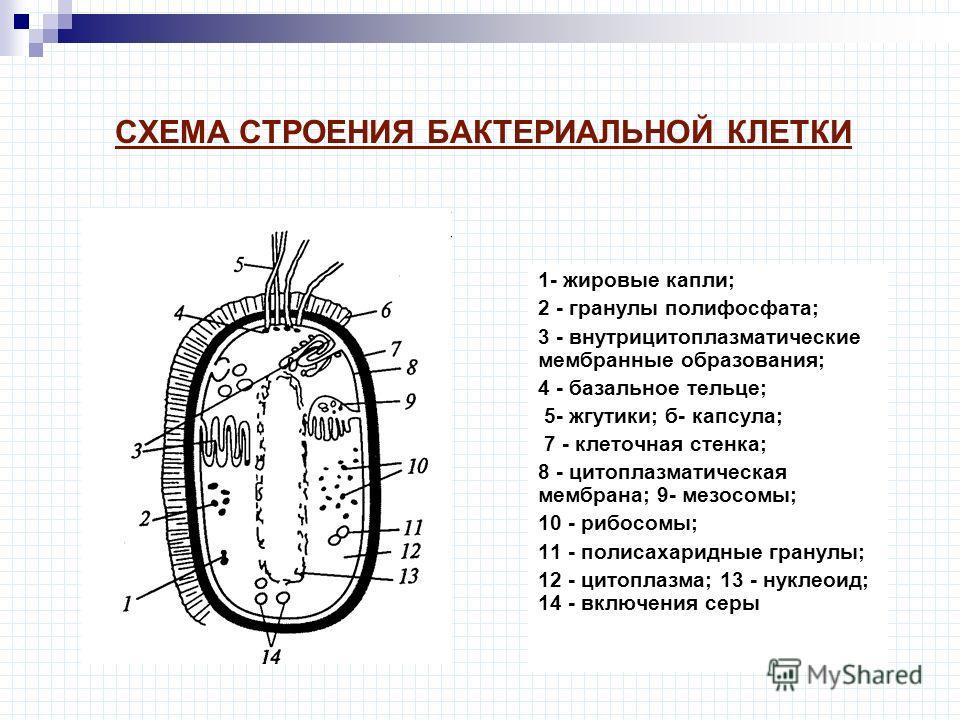 СХЕМА СТРОЕНИЯ БАКТЕРИАЛЬНОЙ КЛЕТКИ 1- жировые капли; 2 - гранулы полифосфата; 3 - внутрицитоплазматические мембранные образования; 4 - базальное тельце; 5- жгутики; б- капсула; 7 - клеточная стенка; 8 - цитоплазматическая мембрана; 9- мезосомы; 10