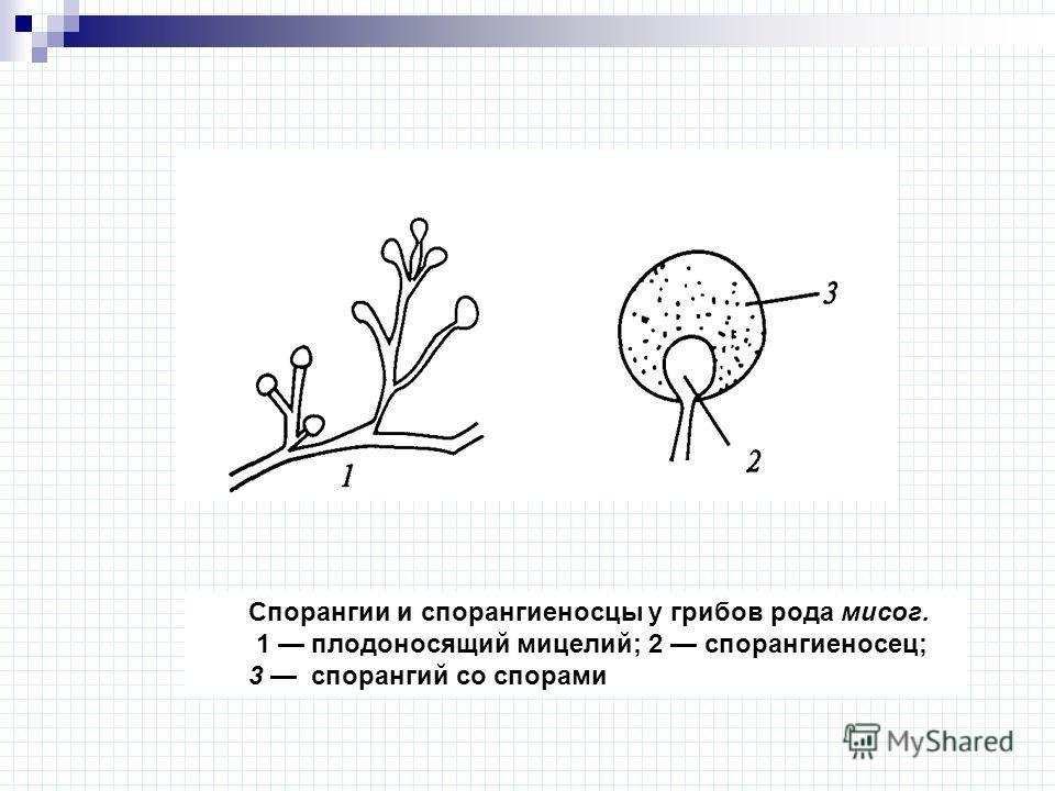 Спорангии и спорангиеносцы у грибов рода мисог. 1 плодоносящий мицелий; 2 спорангиеносец; 3 спорангий со спорами