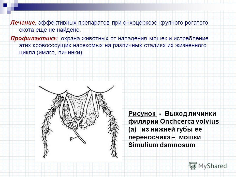 Лечение: эффективных препаратов при онхоцеркозе крупного рогатого скота еще не найдено. Профилактика: охрана животных от нападения мошек и истребление этих кровососущих насекомых на различных стадиях их жизненного цикла (имаго, личинки). Рисунок - Вы