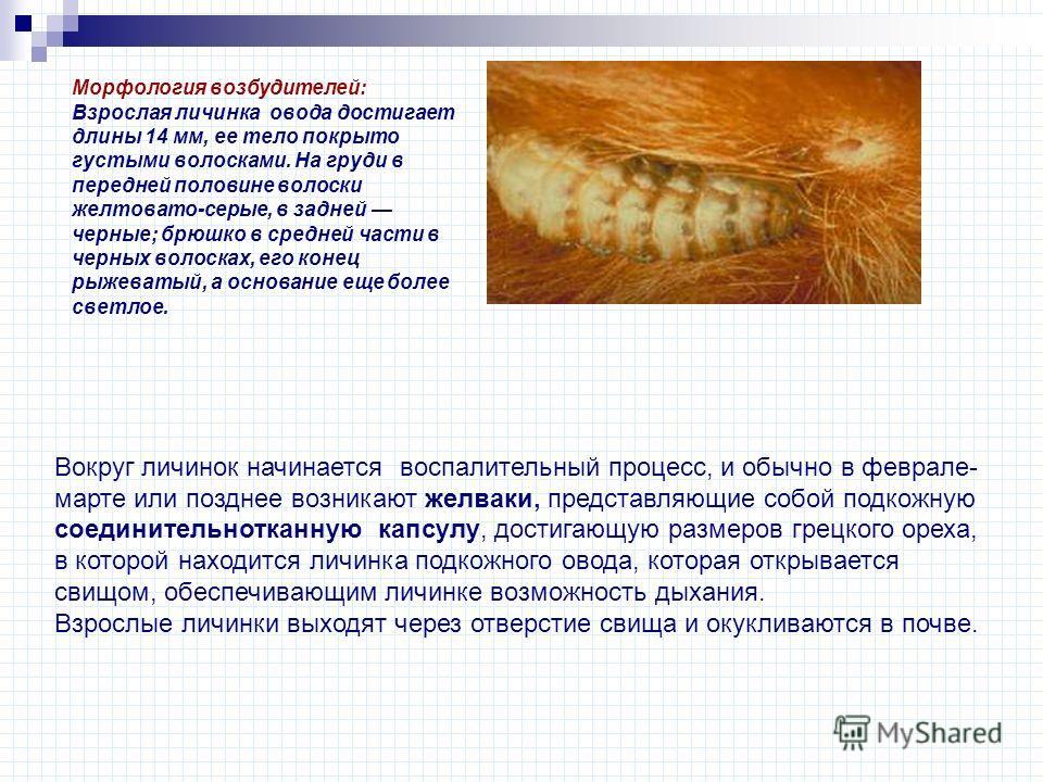 Морфология возбудителей: Взрослая личинка овода достигает длины 14 мм, ее тело покрыто густыми волосками. На груди в передней половине волоски желтовато-серые, в задней черные; брюшко в средней части в черных волосках, его конец рыжеватый, а основани