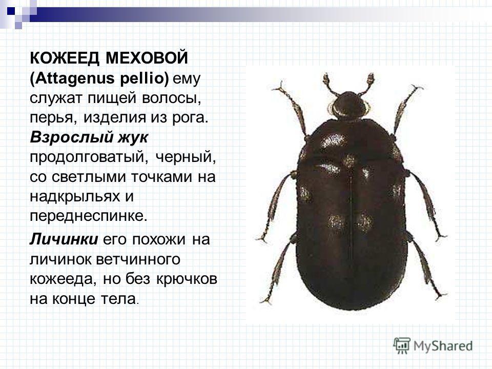КОЖЕЕД МЕХОВОЙ (Attagenus pellio) ему служат пищей волосы, перья, изделия из рога. Взрослый жук продолговатый, черный, со светлыми точками на надкрыльях и переднеспинке. Личинки его похожи на личинок ветчинного кожееда, но без крючков на конце тела.
