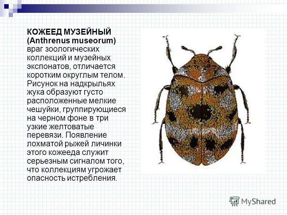 КОЖЕЕД МУЗЕЙНЫЙ (Anthrenus museorum) враг зоологических коллекций и музейных экспонатов, отличается коротким округлым телом. Рисунок на надкрыльях жука образуют густо расположенные мелкие чешуйки, группирующиеся на черном фоне в три узкие желтоватые