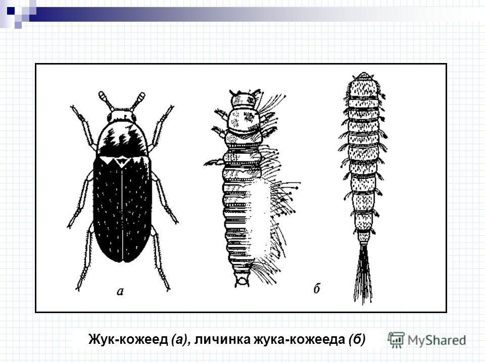 Жук-кожеед (а), личинка жука-кожееда (б)