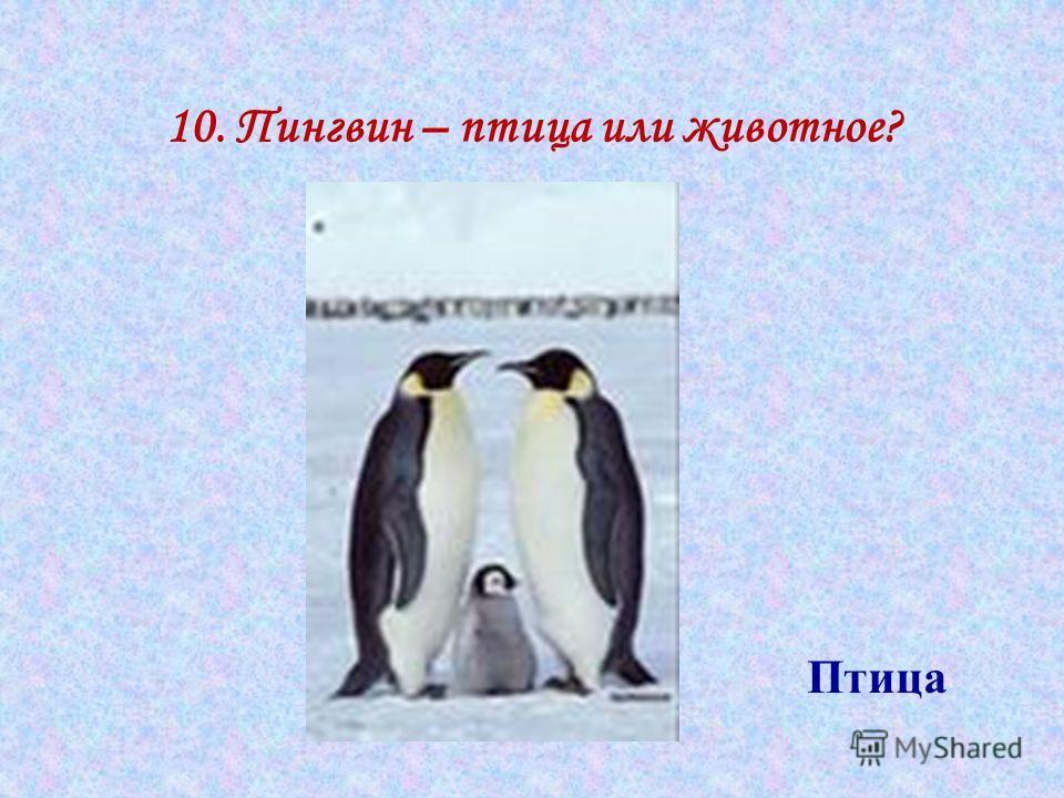 10. Пингвин – птица или животное? Птица