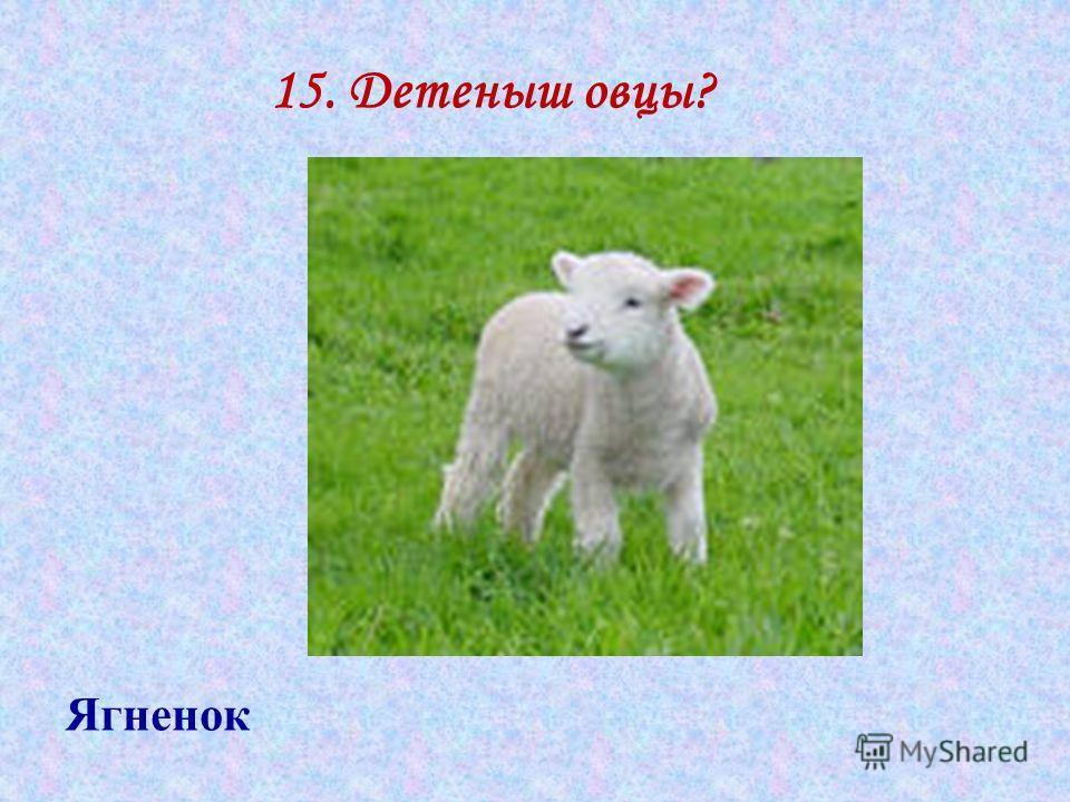 15. Детеныш овцы? Ягненок