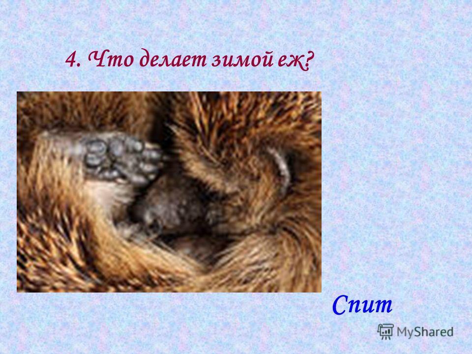 4. Что делает зимой еж? Спит