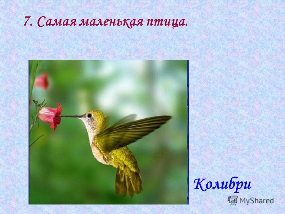 7. Самая маленькая птица. Колибри