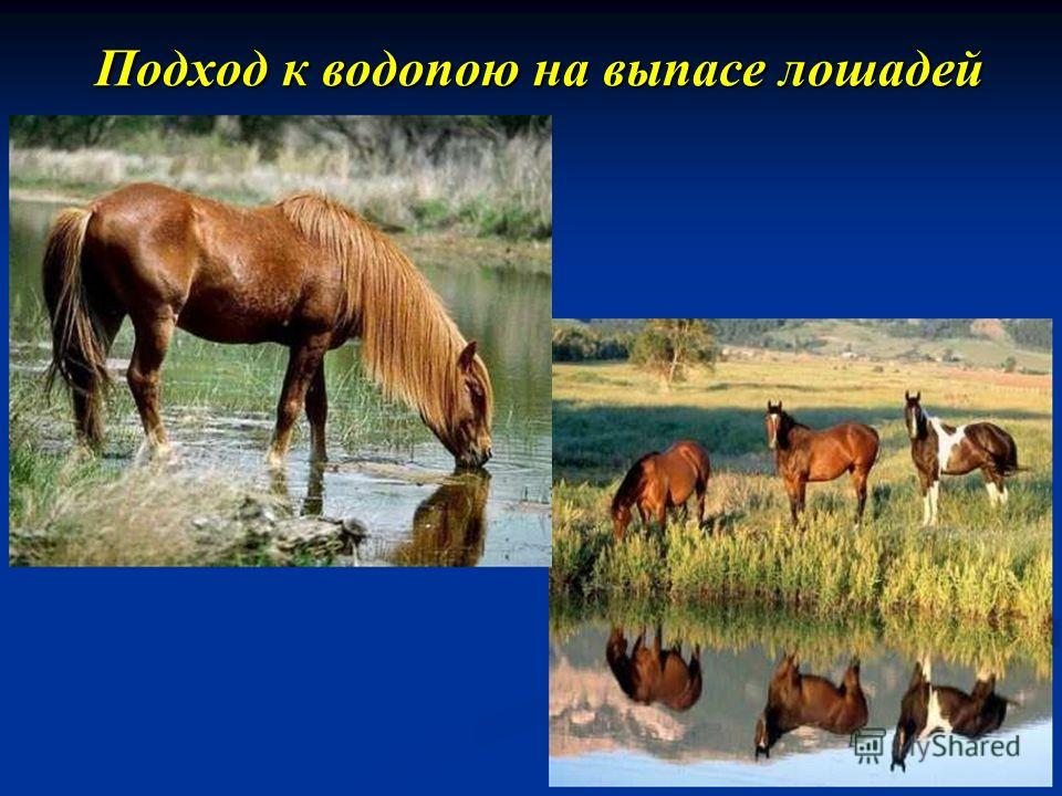 Подход к водопою на выпасе лошадей