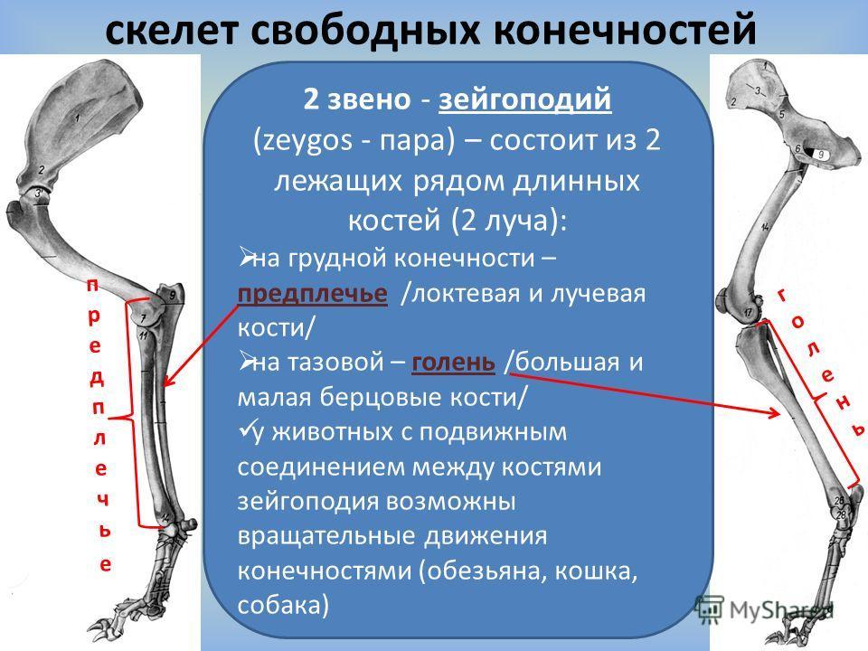 скелет свободных конечностей 2 звено - зейгоподий (zeygos - пара) – состоит из 2 лежащих рядом длинных костей (2 луча): на грудной конечности – предплечье /локтевая и лучевая кости/ на тазовой – голень /большая и малая берцовые кости/ у животных с по