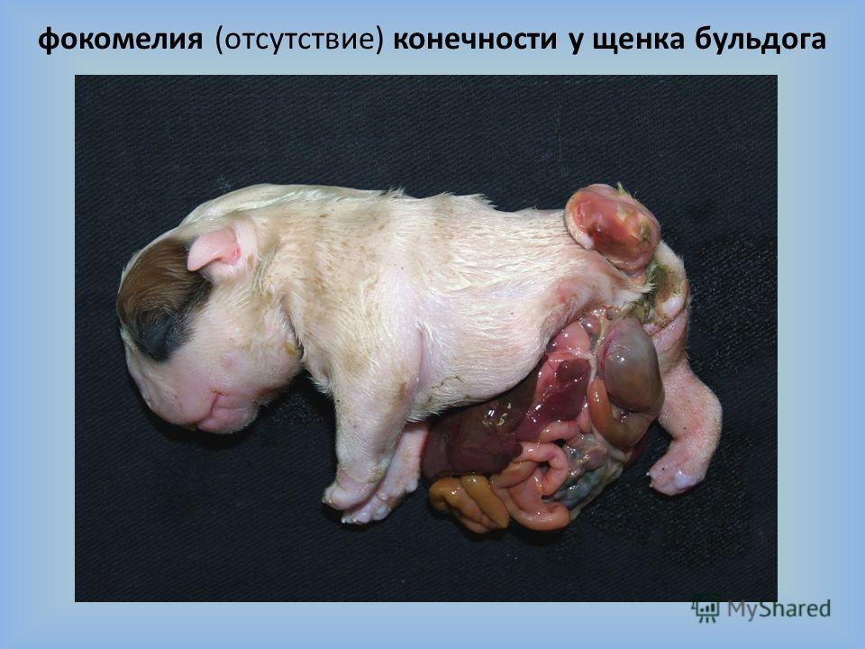 фокомелия (отсутствие) конечности у щенка бульдога