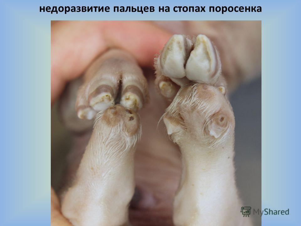 недоразвитие пальцев на стопах поросенка