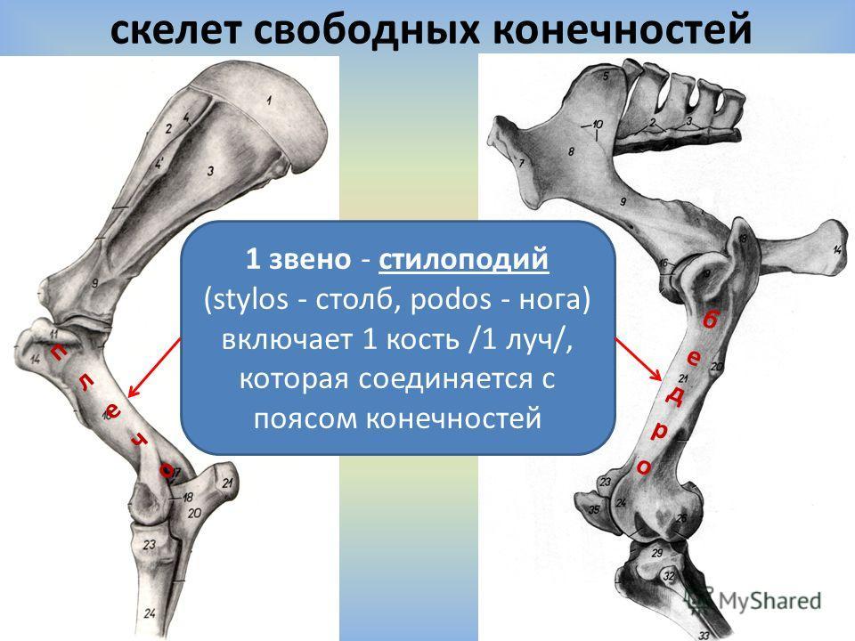 скелет свободных конечностей 1 звено - стилоподий (stylos - столб, podos - нога) включает 1 кость /1 луч/, которая соединяется с поясом конечностей