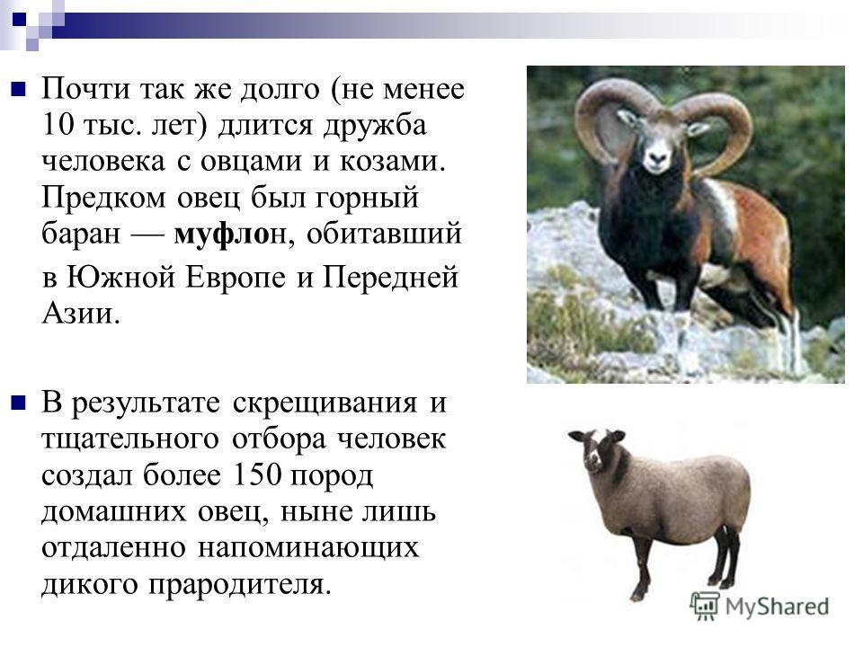 Почти так же долго (не менее 10 тыс. лет) длится дружба человека с овцами и козами. Предком овец был горный баран муфлон, обитавший в Южной Европе и Передней Азии. В результате скрещивания и тщательного отбора человек создал более 150 пород домашних