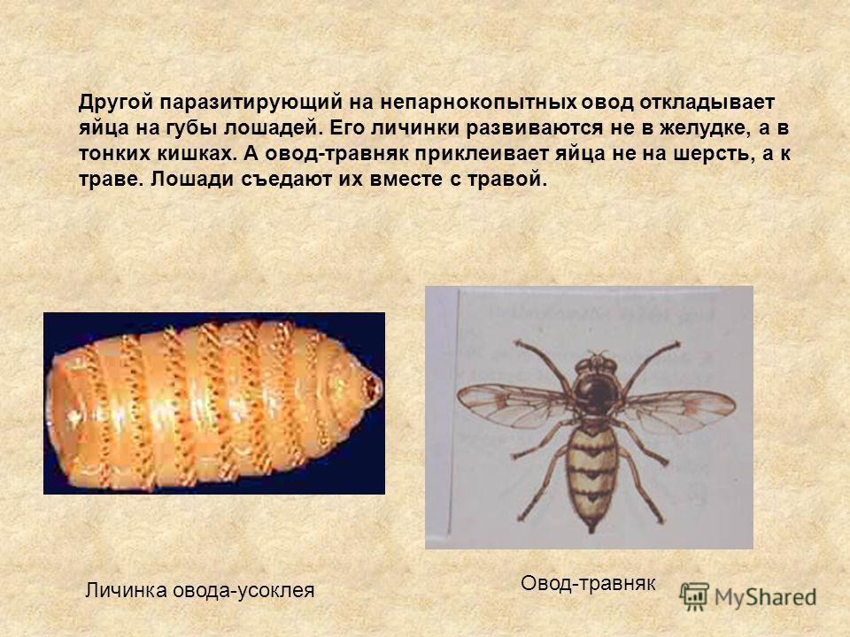 Другой паразитирующий на непарнокопытных овод откладывает яйца на губы лошадей. Его личинки развиваются не в желудке, а в тонких кишках. А овод-травник приклеивает яйца не на шерсть, а к траве. Лошади съедают их вместе с травой. Личинка овода-усоклея