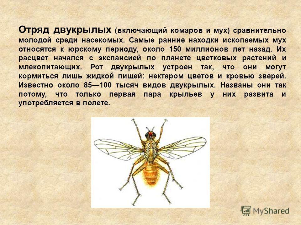 Отряд двукрылых (включающий комаров и мух) сравнительно молодой среди насекомых. Самые ранние находки ископаемых мух относятся к юрскому периоду, около 150 миллионов лет назад. Их расцвет начался с экспансией по планете цветковых растений и млекопита