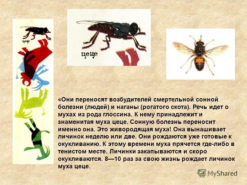 «Они переносят возбудителей смертельной сонной болезни (людей) и наганы (рогатого скота). Речь идет о мухах из рода глоссина. К нему принадлежит и знаменитая муха цеце. Сонную болезнь переносит именно она. Это живородящая муха! Она вынашивает личинок