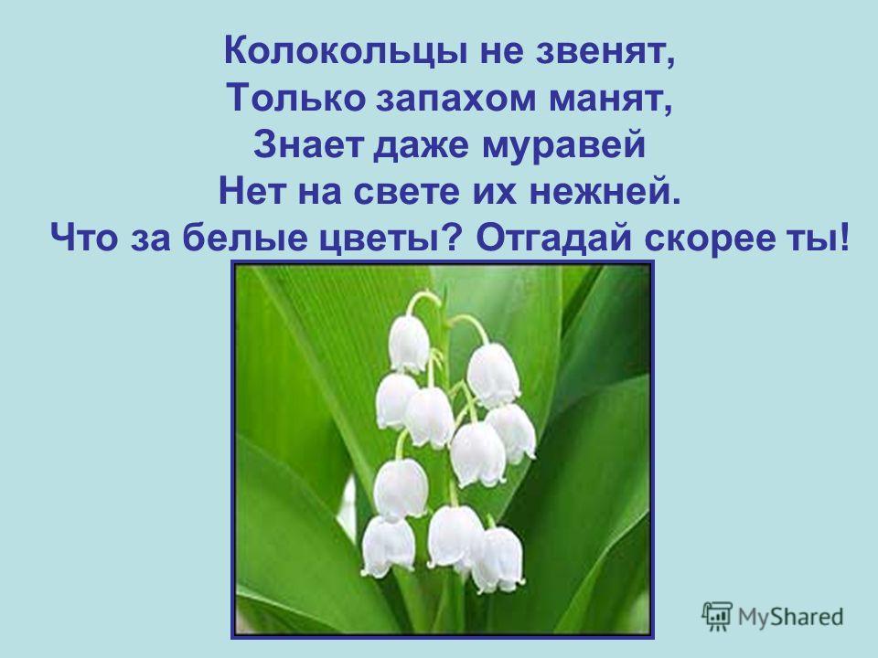 Колокольцы не звенят, Только запахом манят, Знает даже муравей Нет на свете их нежней. Что за белые цветы? Отгадай скорее ты!