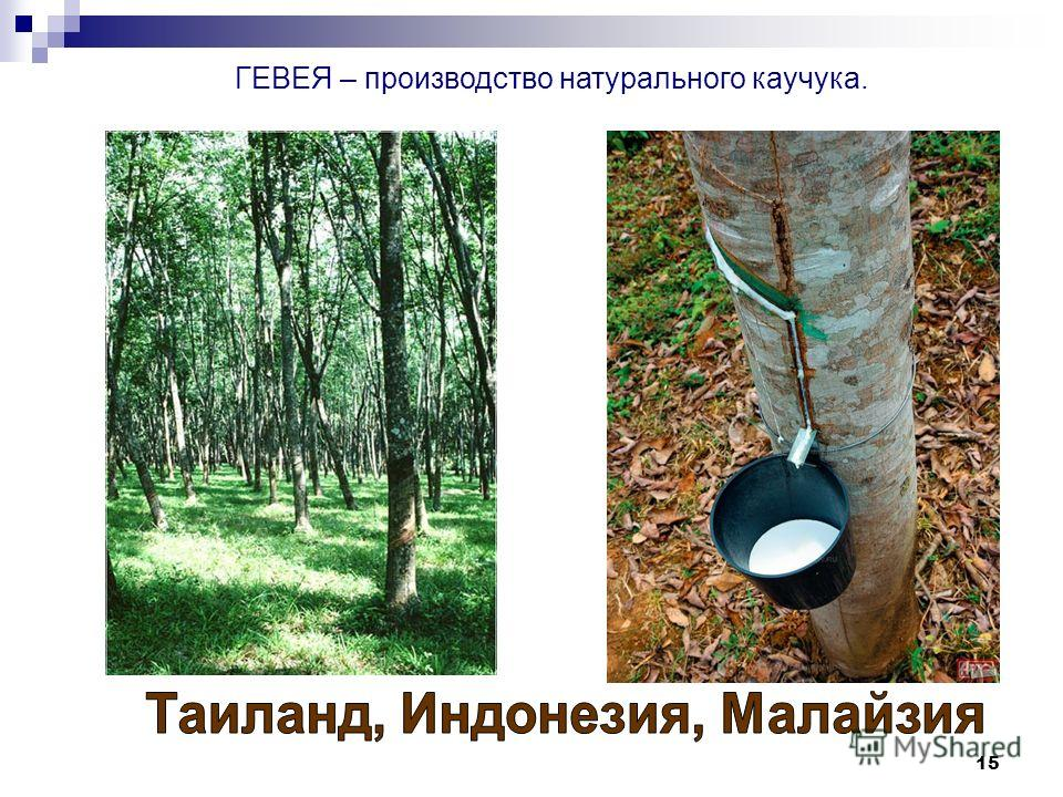15 ГЕВЕЯ – производство натурального каучука.